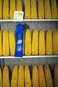 Prize winning blue ribbon corn on display at the Iowa State Fair in Des Moines, Iowa,  AGPix_0500
