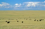 Cattle graze on Great Plains during August afternoon,  west of Hayes, South Dakota, AGPix_0521