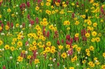 Alpine wildflowers, Paintbrush, Bistort and Sunflowers in the San Juan Mountains, Colorado, AGPix_0525