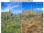 Spring and summer seasons in the Sonoran Desert of Arizona, same location on March, 2005 and June, 2005, White Tank Mountains Regional Park, near Phoenix, Arizona, AGPix_0533