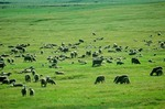 Herd of sheep grazing in Harding County, South Dakota, AGPix_0562