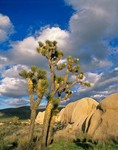 Joshua Trees in flower beside granite boulder at Belle Campground, Joshua Tree National Park, California, AGPix_0576