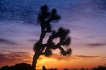 Joshua Tree at sunset, in Joshua Tree National Park, California, AGPix_0585