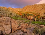 Grove of palms in a desert canyon near Mountain Palm Springs at Anza-Borrego State Park, California, AGPix_0586