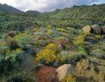 Spring wildflowers in desert, brittlebush in Glorieta Canyon at Anza-Borrego State Park, California, AGPix_0588