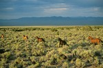 Horses running near Humdinger Spring, with Ione Valley in background, Cedar Mountains, east of Mina, Nevada, AGPix_0598