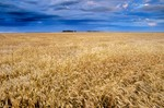 Field of wheat ready for harvest near Casselton, North Dakota, AGPix_0599