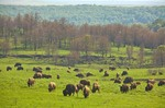 Bison herd grazing on prairie near woodland at Tallgrass Prairie Preserve a Nature Conservancy Preserve near Pawhuska, Oklahoma, AGPix_0610