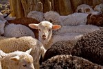 Navajo-Churro Sheep, lambs, in pen at home of Helen and Jay Begay at Rocky Ridge on the Navajo Nation, Arizona, AGPix_0624