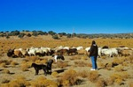 Navajo herder, with her flock of Navajo Churro sheep at home of Jay and Helen Begay, Rocky Ridge, Navajo Indian Reservation, Arizona, AGPix_0625