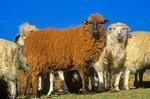 Navajo-churro sheep of various colors in sheep corral at home of Jay and Helen Begay, Rocky Ridge, Navajo Nation, Arizona, AGPix-0627