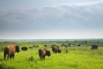 Bison Herd roaming the tallgrass prairie at Prairie State Park, Missouri, AGPix_0633