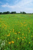 Tallgrass prairie with sunflowers and other wildflowers at Pipestone National Monument, Minnesota, AGPix_0645