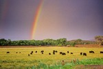 Rainbow over grazing cattle in irrigated pasture on the U Bar Ranch, Gila River Valley, Grant County, New Mexico, AGPix_0646