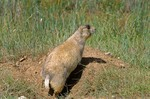 Whitetail Prairie Dog, Cynomys leucurus, at Arapaho National Wildlife Refuge, near Walden, Colorado, AGPix_0651