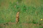 Gunnison's Prairie Dog, Cynomys gunnisoni, Coconino National Forest, Flagstaff, Arizona, AGPix_0652