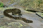 Arizona Black Rattlesnake, Crotalus cerberus, Coconino National Forest, Arizona, AZPix_0655