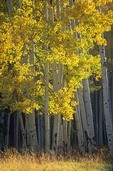 Autumn colors of aspen trees near White Horse Hills in the San Francisco Peaks area of Coconino National Forest near Flagstaff, AGPix_0670