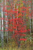 Red maple among birch trees, Itasca County, Minnesota, AGPix_0671