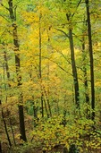 Sunbeams in misty forest, hardwood forest at Forestville State Park in the Root River Valley, Minnesota, AGPix_0672