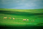 Herd of pronghorn on grassy plains at Oglala National Grasslands, Sioux County, Nebraska, AGPix_0675