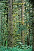 Forest of Sitka Spruce trees grow in temperate rainforest at Fort Abercrombie State Park, Kodiak Island, Alaska, AGPix_0677
