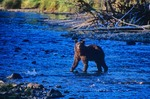Admiralty Island Brown Bear fishing for salmon in shallow stream at Pybus Bay on Admiralty Island National Monument in Tongass National Forest, Alaska, AGPix_0686