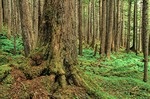 Old growth western hemlock trees growing in temperate rainforest near Point Adolphus on Chichagof Island in Tongass National Forest west of Juneau, Alaska, AGPix_0698