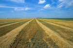 Farm field with wheat swathed into rows ready for combine near Casselton, Cass County, North Dakota, AGPix_0700