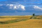 Country road with lone tree amid wheat fields in Williams County, North Dakota, AGPix_0703