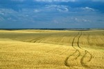 Wheat field with vehicle tracks making patterns among the grain in Willliams County south of Grenora, North Dakota, AGPix_0704