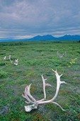 Caribou skulls with antlers left behind by local native subsistance hunters at Onion Portage in Kobuk Valley National Park, Alaska, AGPix_0712