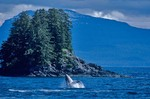 Humpback Whale breaching from waters of Chatham Strait near Kelp Bay, Baranof Island, East of Sitka, Alaska, AGPix_0714