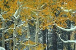 Early snowfall on aspen trees with autumn foliage, Kaibab Nation Forest at North Rim of Grand Canyon, Arizona, AGPix_0716
