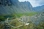 Caribou skull on tundra in unnamed valley amid rugged peaks of the Endicott Mountains in the Brooks Range at Gates of Arctic National Park, Alaska, AGPix_0733