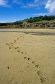 Alaska Brown Bear tracks on a sandy beach in Amalik Bay on the Pacific coast of Katmai National Park, Alaska, AGPix_0755