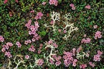 Alpine azalea and lichen, alpine tundra plants in mountains south of Murray Lake in Katmai National Park, Alaska, AGPix_0769