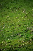 Herd of sheep grazing on high alpine mountainside in California Gulch area of the San Juan Mountains near Silverton, Colorado,  AGPix_0775