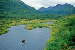 Kodiak Brown Bear wades in O'Malley River amid mountains of Kodiak National Wildlife Refuge, Kodiak Island, Alaska, AGPix_0824