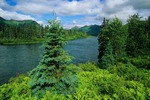 Spruce Trees on banks of the Peace River at Lake Beverly in Wood-tikchik State Park, Alaska, AGPix_0828