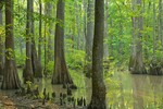 Tupelo-Cypress swamp along Bayou DeView near location where Ivorybilled woodpecker may have been sighted in 2004 in the Cache River National Wildlife Refuge near Brinkley, Arkansas, AGPix_0852