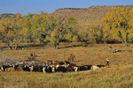 Cattle roundup on the Apple Ranch in Cimarron Valley, Cimarron County, near Kenton, Oklahoma, AGPix_0886