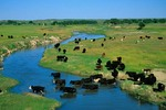 Cattle along the Beaver River in early June along Highway 283, near Laverne, Oklahoma, AGPix_0890
