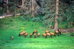 Elk Herd at KP Cienega in the Apache National Forest in White Mountains near Hannagan Meadow, Arizona, AGPix_0894