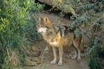Mexican Gray Wolf, Canis lupus, inside enclosure at Arizona-Sonora Desert Museum, Tucson, Arizona, AGPix_0895