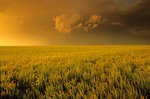 Wheat field with storm clouds at sunset, on the Great Plains northwest of Elkhart, Kansas, AGPix_0904