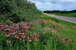 Roadside wildflowers blooming at prairie restoration project, purple coneflower and wild bergamont along county road P56, north of Fort Dodge Iowa, AGPix_0911