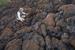 Tom Bean examins pillow lava exposed on shore of Gordon Islands on Pacific coast in Gwaii Haanas National Park Reserve, in the Queen Charlotte Islands of British Columbia, Canada, AGPix_0918