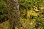 Hikers examin an old growth western hemlock tree along Louscoone Inlet on Moresby Island in Gwaii Haanas National Park Reserve, in the Queen Charlotte Islands of British Columbia, Canada, AGPix_0920