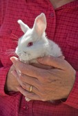 Woman holding a small white rabbit at rabbit farm near Flagstaff, Arizona,  AGPix_0929